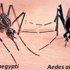 Dos mosquitos
