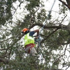 Arborist in a tree chopping branches