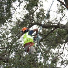 Un arborista cortando las ramas de un árbol