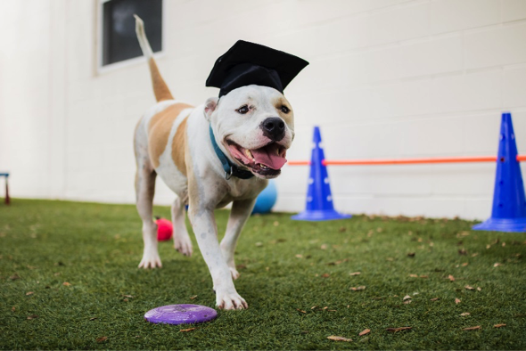 Dog with a graduation cap on its head