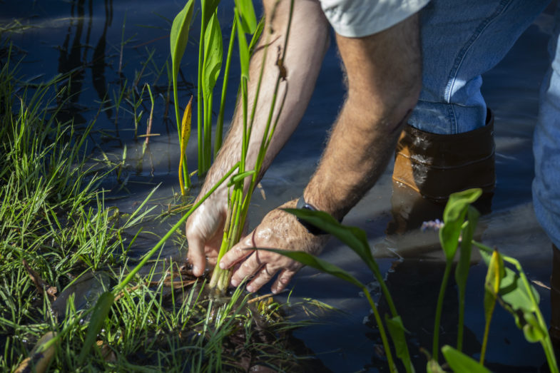 A man is pulling some weeds from a grassy patch that abuts a body of water. He's standing in the water.