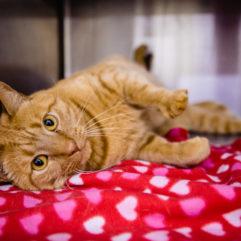 Un gato de color marrón claro recostado sobre una manta roja con estampado de corazones mira fijamente a la cámara