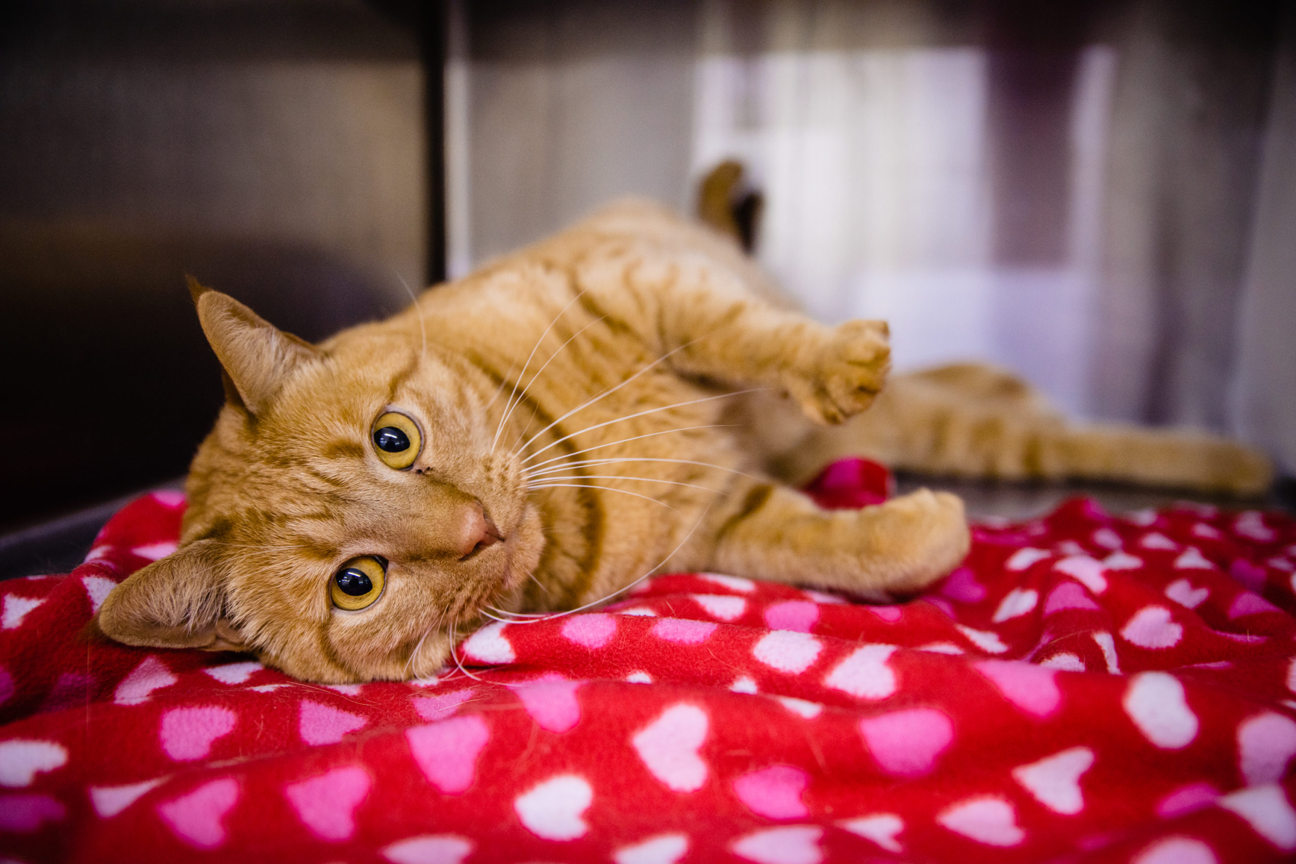 A light brown cat stares at the camera while laying on a red heart-themed blanket