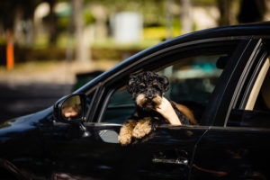 A dog sticking its head out of a car window